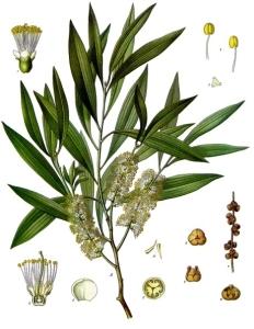 Melaleuca_leucadendra_-_Köhler–s_Medizinal-Pflanzen-092