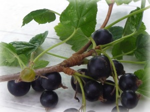 blackcurrant-53808_640