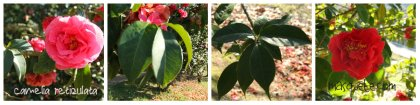 camelia reticulata collage